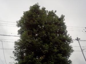 樫の木の剪定前