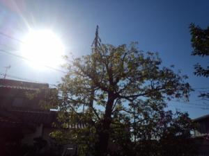 樫の木の剪定後