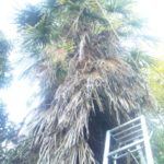 大きくなったシュロの木