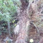 シュロの木の伐採