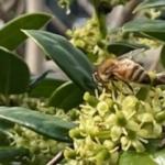 4月始めの蜜蜂