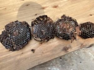 分解したスズメバチの巣