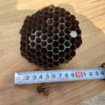 上段10cmの巣