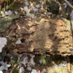 桜の木 テッポウムシ
