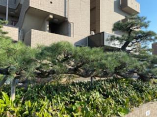 2日かけて剪定した松の木