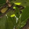 イチゴの木にスズメバチの巣