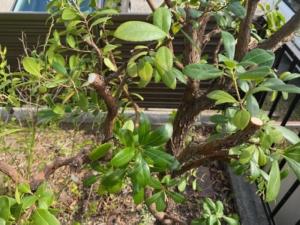 イチゴの木を剪定