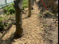 カシの樹勢回復作業
