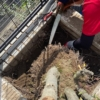 樫の伐採抜根